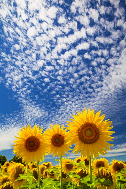 FRA9387AW Sunflowers & Cloudscape, near Arles, Provence, France