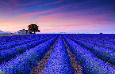 FRA9429AW Farmhouse & Tree in Field of Lavender at Sunrise, Provence, France