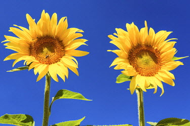 FRA9436AW Two Sunflowers, Provence, France