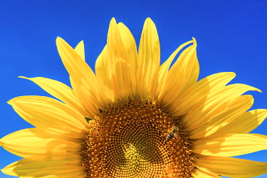 FRA9437AW Sunflower Detail, Provence, France