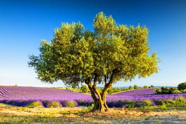 FRA9438AW Olive Tree & Field of Lavender, Provence, France