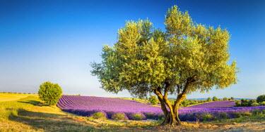 FRA9439AW Olive Tree & Field of Lavender, Provence, France