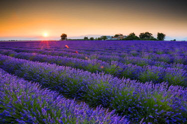 FRA9441AW Field of Lavender at Sunrise, Provence, France