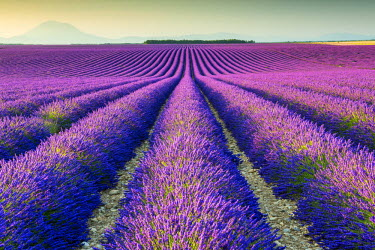 FRA9442AW Fields of Lavender, Provence, France