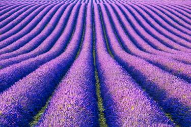 FRA9443AW Fields of Lavender, Provence, France