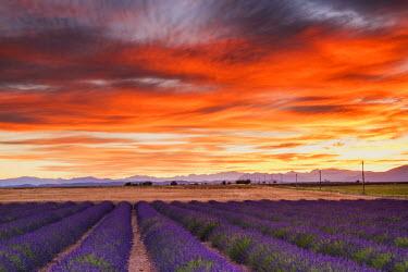 FRA9468AW Field of Lavender at Sunrise, Provence, France