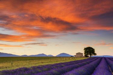 FRA9470AW Villa & Field of Lavender at Sunrise, Provence, France
