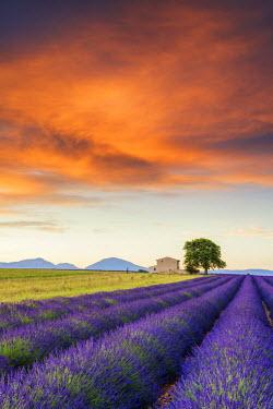 FRA9471AW Villa & Field of Lavender at Sunrise, Provence, France