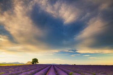 FRA9472AW Villa & Field of Lavender, Provence, France