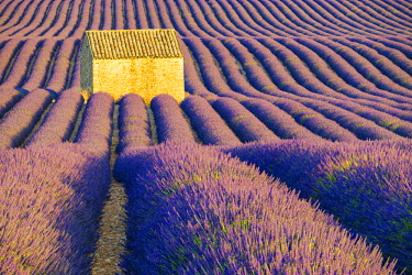 FRA9474AW Stone Barn in Field of Lavender, Provence, France
