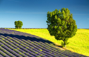 FRA9476AW Field of Lavender & Trees, Valensole, Provence, France