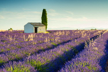 FRA9477AW Stone Barn & Field of Lavender, Provence, France
