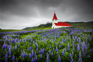 ICE3892AW Church in Wild Lupins, Vik, Iceland