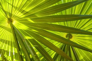 MEX1751AW Saw Palmetto Leaf Patterns, Yucantan, Mexico