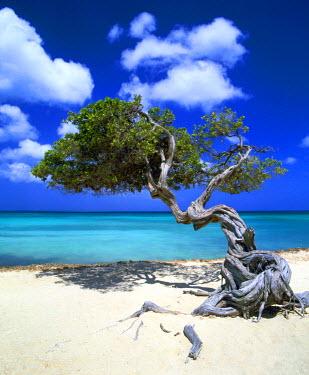 ARU0002AW Divi Divi Tree, Aruba, Lesse Antilles, Caribbean