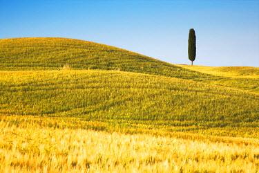 ITA9657AW Lone Cypress Tree in Field of Barley, Pienza, Tuscany, Italy