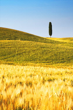ITA9658AW Lone Cypress Tree in Field of Barley, Pienza, Tuscany, Italy