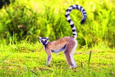 MAD0650AW Ring-tailed lemur (Lemur catta), Madagascar