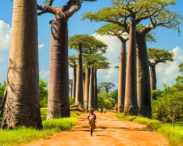MAD0651AW Avenue of the Baobabs (UNESCO World Heritage site), Madagascar