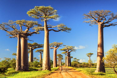 MAD0652AW Avenue of the Baobabs (UNESCO World Heritage site), Madagascar