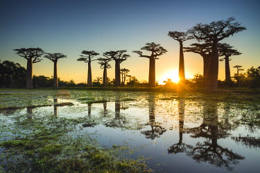 MAD0653AW Baobab Trees at Sunset (UNESCO World Heritage site), Madagascar