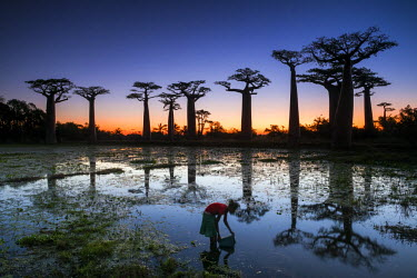 MAD0655AW Girl Gathering Water with Baobab Trees at Sunset (UNESCO World Heritage site), Madagascar