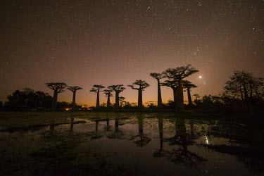 MAD0656AW Star-filled Sky over Baobab Trees, (UNESCO World Heritage site), Madagascar