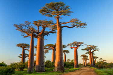 Avenue of the Baobabs (UNESCO World Heritage site), Madagascar