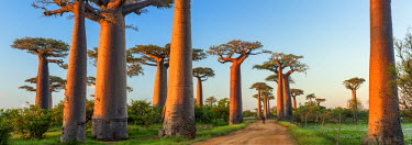MAD0658AW Avenue of the Baobabs (UNESCO World Heritage site), Madagascar