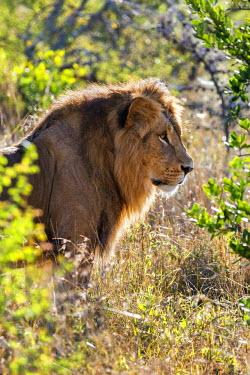 KEN10217 Kenya, Laikipia.  A lion.