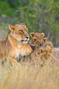 KEN10243 Kenya, Laikipia.  A lioness with her three small cubs.