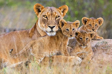 KEN10246 Kenya, Laikipia.  A lioness with her three small cubs.