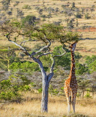KEN10255 Kenya, Laikipia.  A Reticulated giraffe browses the foliage of a tall tree.