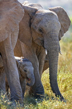 KEN10262 Kenya, Laikipia.  A baby elephant is well protected by its family.