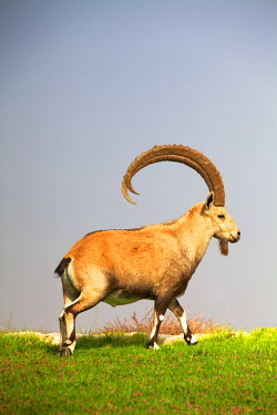 ISR0128 Israel, Negev Desert, Mitzpe Ramon. The Nubian Ibex or Mountain Goat mostly known to roam in the Negev desert and Ein Gedi.