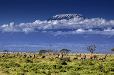 KEN10267AW Elephants come down from the highlands to the swamps of Amboseli with Kilimanjaro in the background., Kenya, Africa