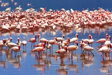 KEN10285AW Flamingos on Lake Bogoria, Kenya, Africa