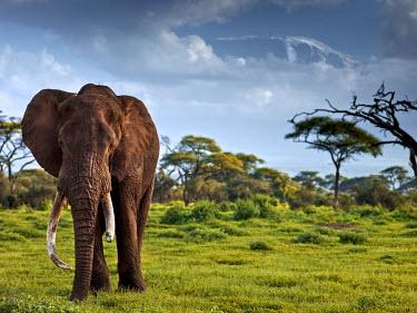 KEN10287AW Old elephant in front of Mount Kilimanjaro, Kenya, Africa