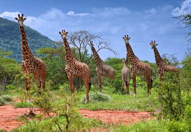 KEN10289AW Giraffe family in Tsavo National Park, Kenya, Africa