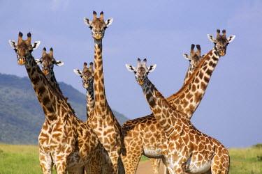 KEN10301AW Giraffe family, Maasai Mara, Kenya, Africa