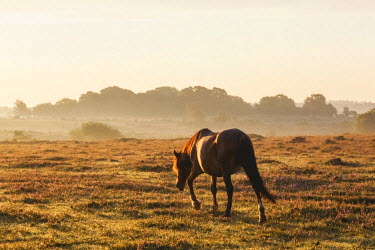 TPX57538 England, Hampshire, New Forest, Horse Grazing