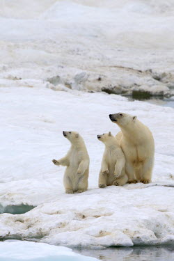 HMS1759703 Russia, Chukotka autonomous district, Wrangel island, Polar bear (Ursus maritimus), adult female with young one year and a half old