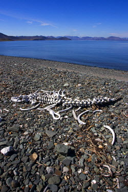HMS1759713 Russia, Chukotka autonomous district, Yttygran Island, Skeleton of Pacific walrus (Odobenus rosmarus divergens)