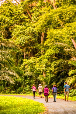 """TTB0058AW """"Aripo Savanna Nature Reserve, Trinidad and Tobago, West Indies, Hikers enjoy early morning walk through bamboo and rain forest trails."""""""