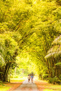 """TTB0059AW """"Aripo Savanna Nature Reserve, Trinidad and Tobago, West Indies, Hikers enjoy early morning walk through bamboo and rain forest trails."""""""