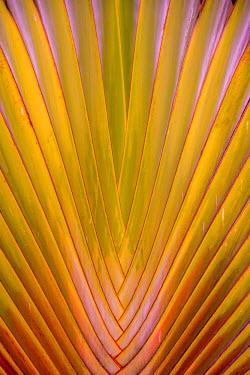 TTB0069AW Royla Botanical Garden, Port of Spain, Trinidad and Tobago, West Indies,  Travelers Palm Tree leaf pattern.