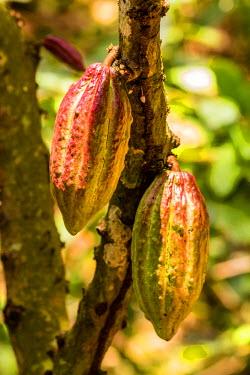 TTB0082AW Roxborough, Tobago, Trinidad and Tobago,  West Indies, Ripening Cocco Pod on a tree at Tobago Cocco Estate.