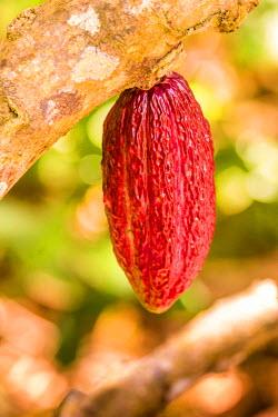 TTB0083AW Roxborough, Tobago, Trinidad and Tobago,  West Indies, An open Ripe Cocco Pod on leaf at Tobago Cocco Estate.