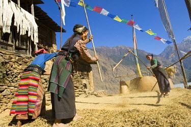 HMS0310617 Nepal, Bagmati Zone, Langtang National Park, Thulo Syabru, millet threshing