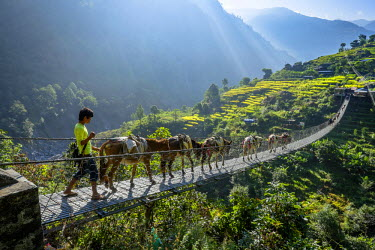 HMS2140732 Nepal, Gandaki zone, Manaslu Circuit, between Lapubesi and Tatopani, refueling mountain villages by mules